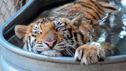 Тигрица Эйша погибала в цирке, но ее спасли (25 фото)