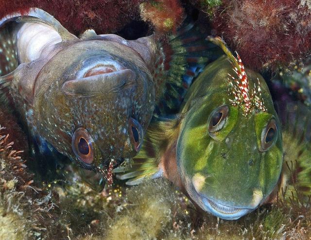 Морские собачки, Флорида