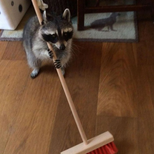 Енот побеждает котиков рис 3