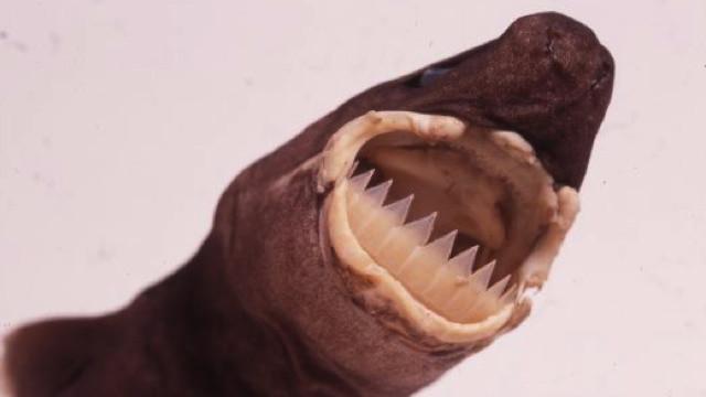 Большезубая сигарная акула