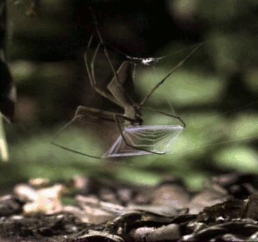 паук-гладиатор