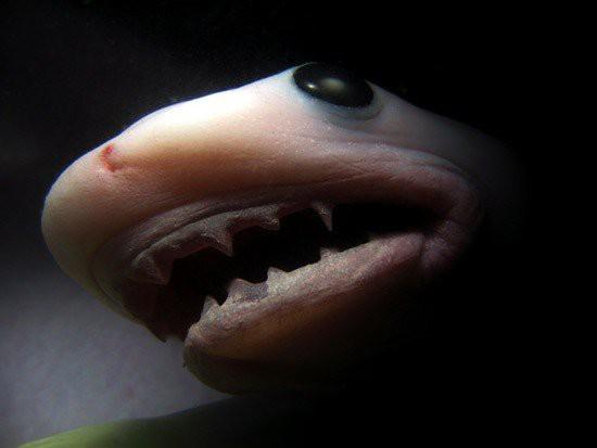 Эмбрионы тигровой акулы