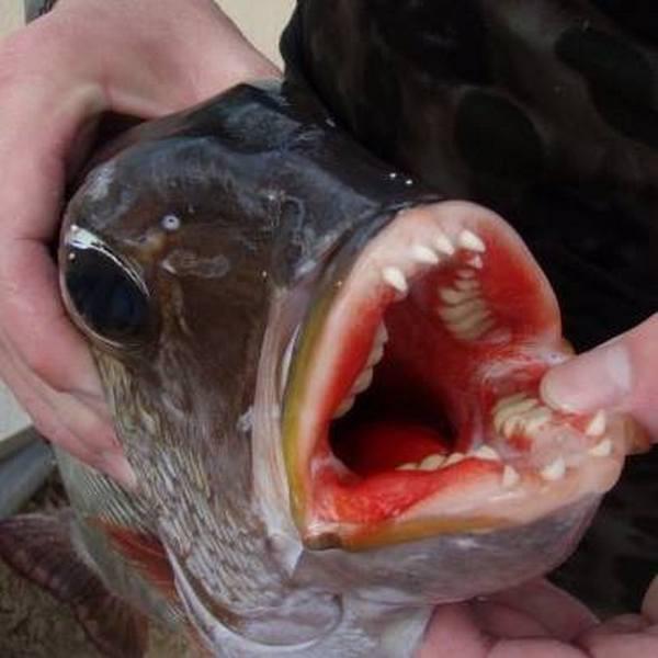 Рыба Му