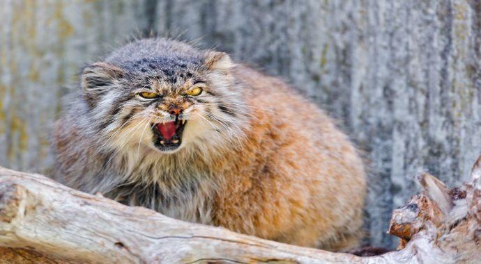 Манул - самый экспрессивный кот в мире! Десяточка лучших фото! рис 7