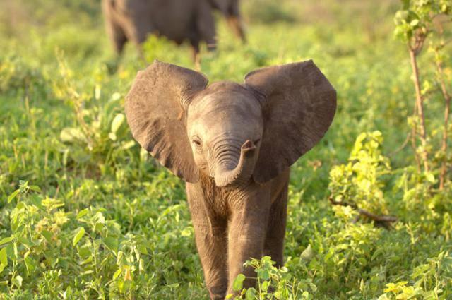 веселый слоненок