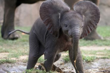 Слоненок догоняет птиц