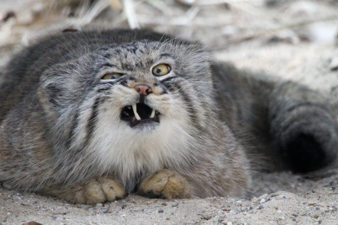 Манул - самый экспрессивный кот в мире! Десяточка лучших фото! рис 2