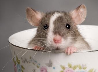 Смотреть тем кто до сих пор считает крыс-глупыми грызунами!