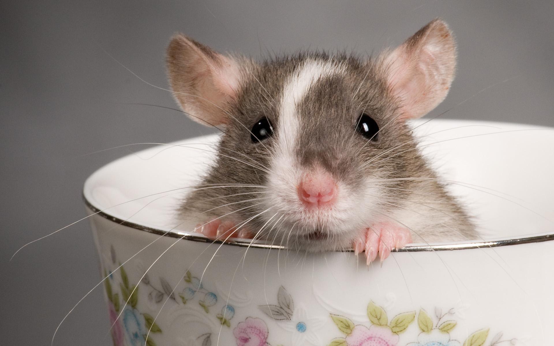 Крыски смешные картинки
