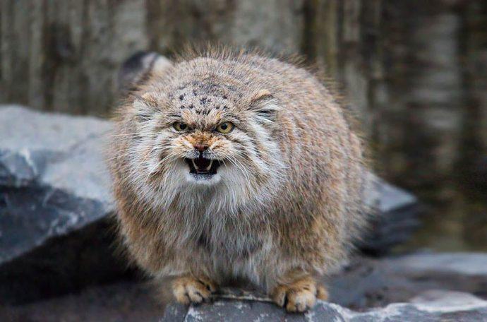Манул - самый экспрессивный кот в мире! Десяточка лучших фото! рис 3
