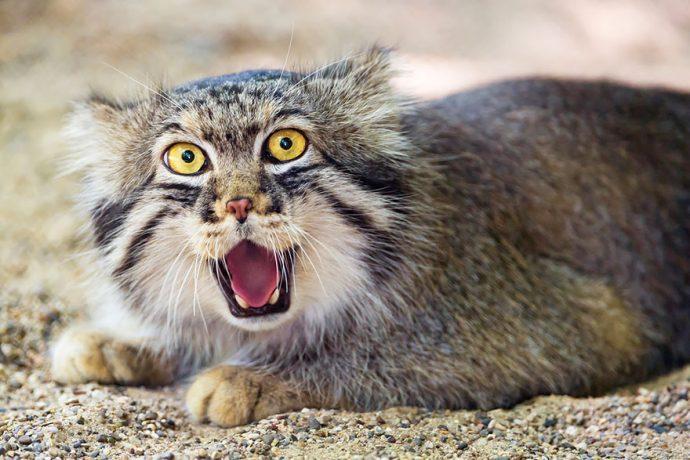 Манул - самый экспрессивный кот в мире! Десяточка лучших фото! рис 4