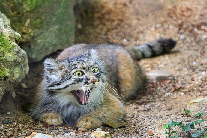 Манул - самый экспрессивный кот в мире! Десяточка лучших фото! рис 6