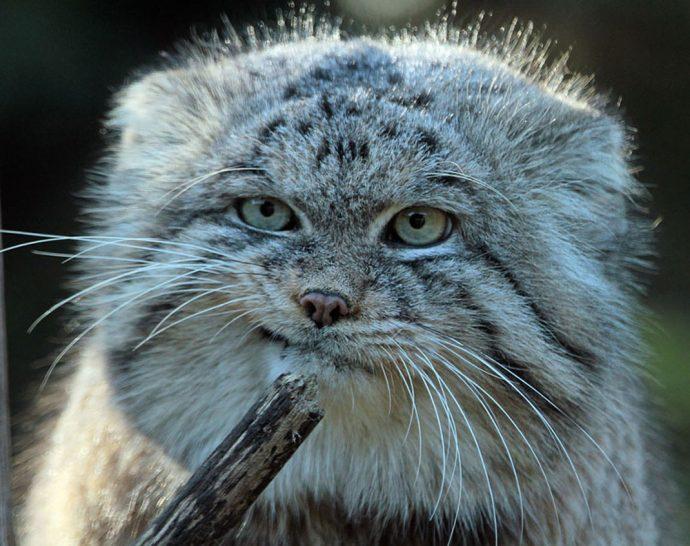 Манул - самый экспрессивный кот в мире! Десяточка лучших фото! рис 5