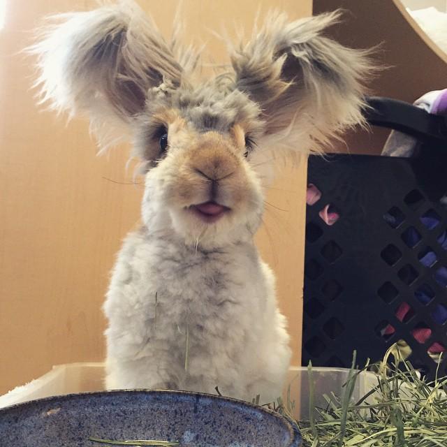 Самый няшный кролик в Интернете! Знакомьтесь, Волли! рис 3