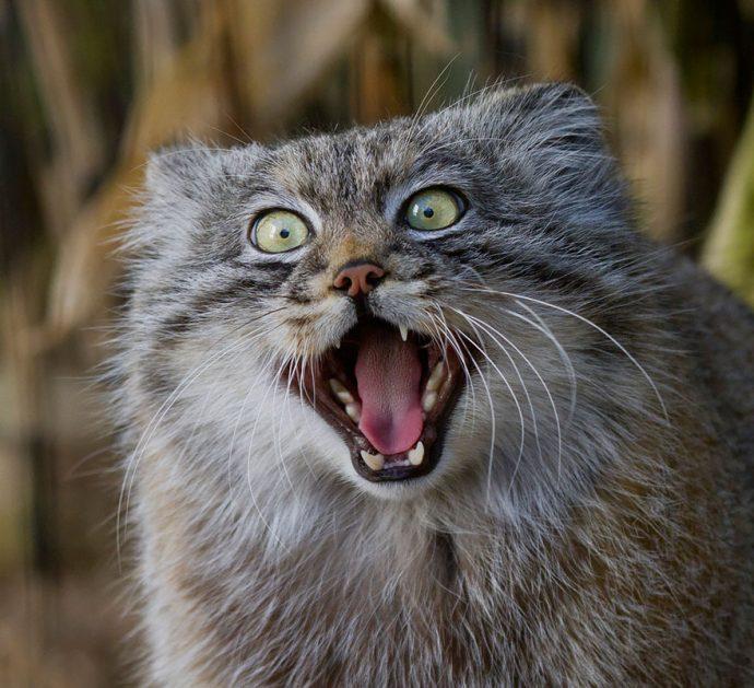 Манул - самый экспрессивный кот в мире! Десяточка лучших фото! рис 9