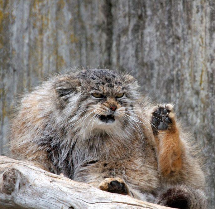 Манул - самый экспрессивный кот в мире! Десяточка лучших фото! рис 10