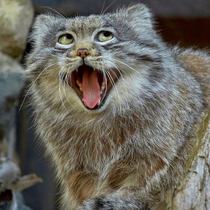 Манул - самый экспрессивный кот в мире! Десяточка лучших фото! рис 8