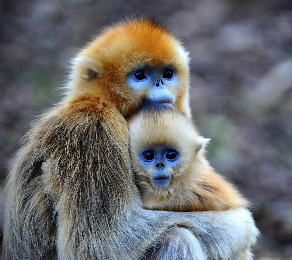 Золотистые курносые обезьяны