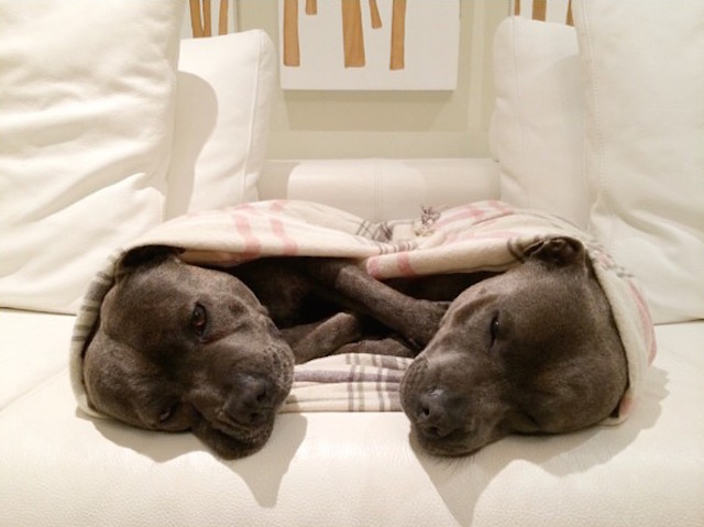 Bull-Terriers-Cuddle-Filled-Pajama-Parties-5