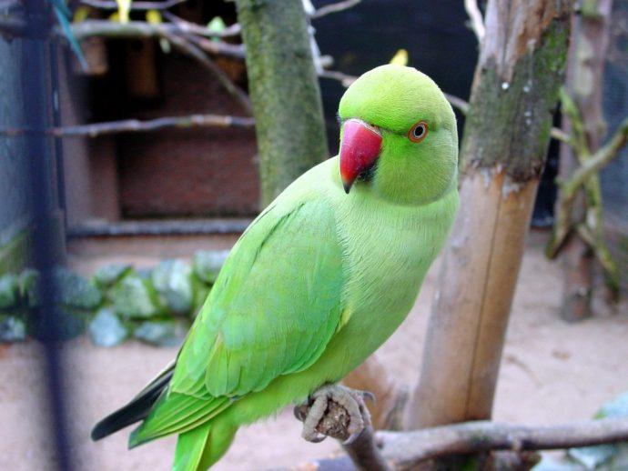 Из клетки за решетку: в Индии арестован попугай-матерщинник
