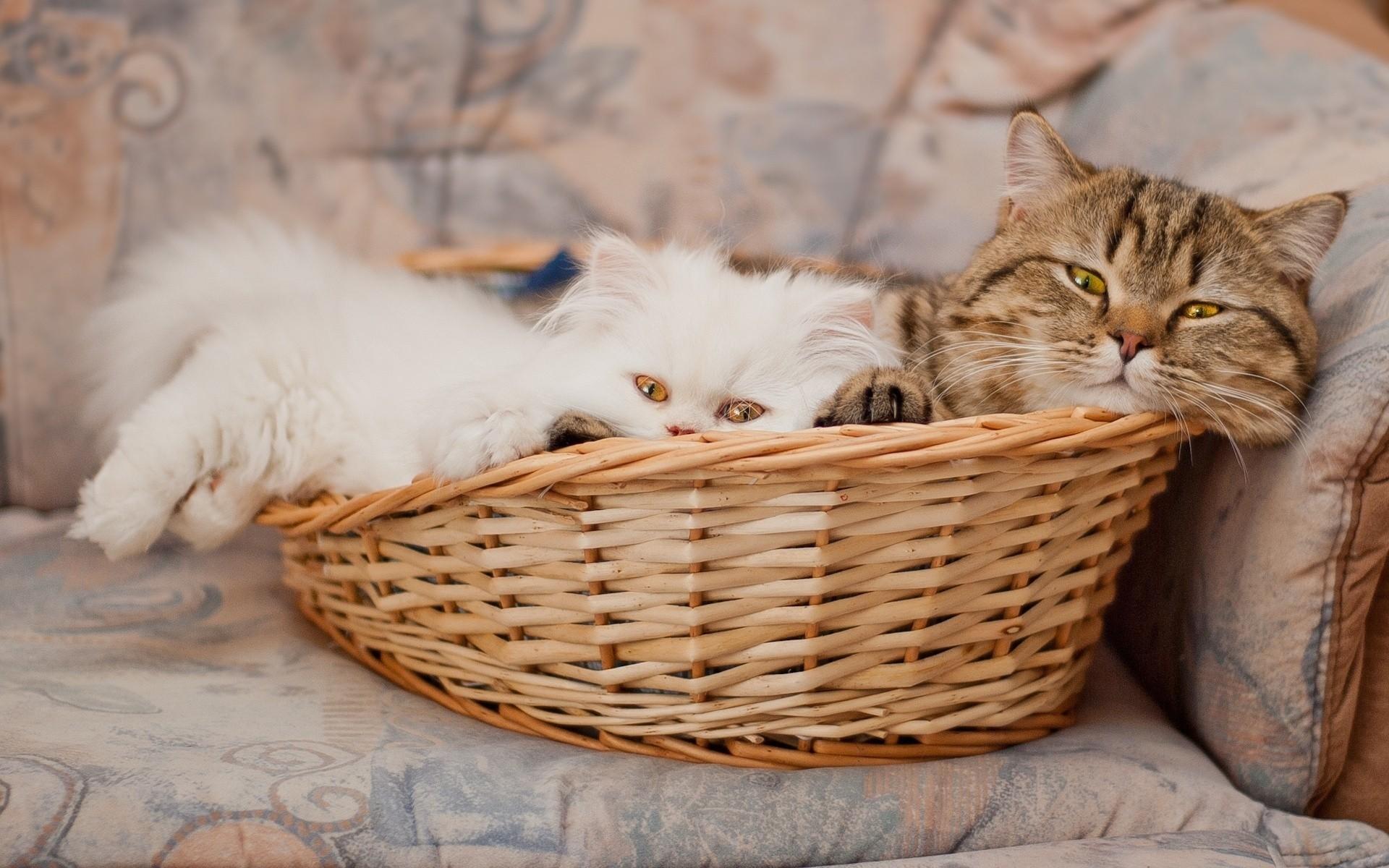 коты в корзинке