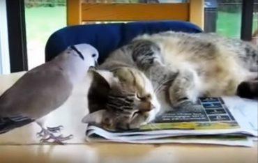 голубь и кот