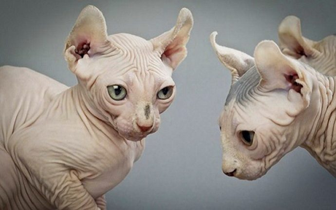 Кошки-эльфы