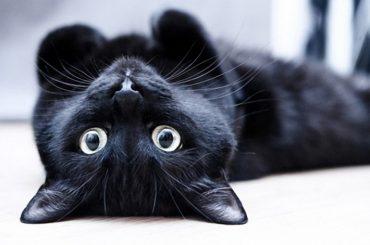 черные коты