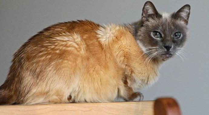 окрас котов рис 3