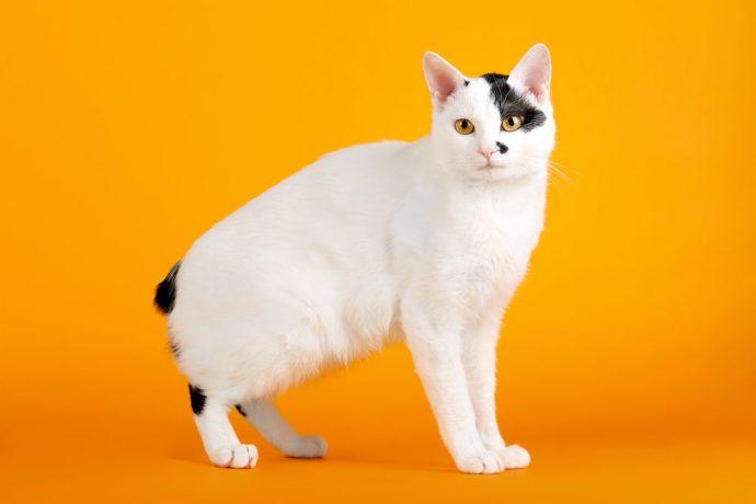 японский кот рис 2