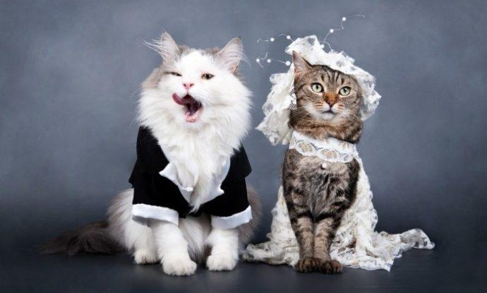 свадьба котов