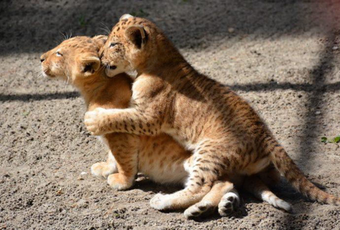 лигры