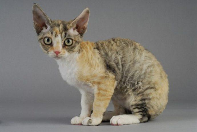 редкие кошки рис 4