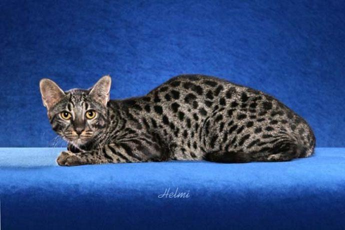 редкие кошки рис 3