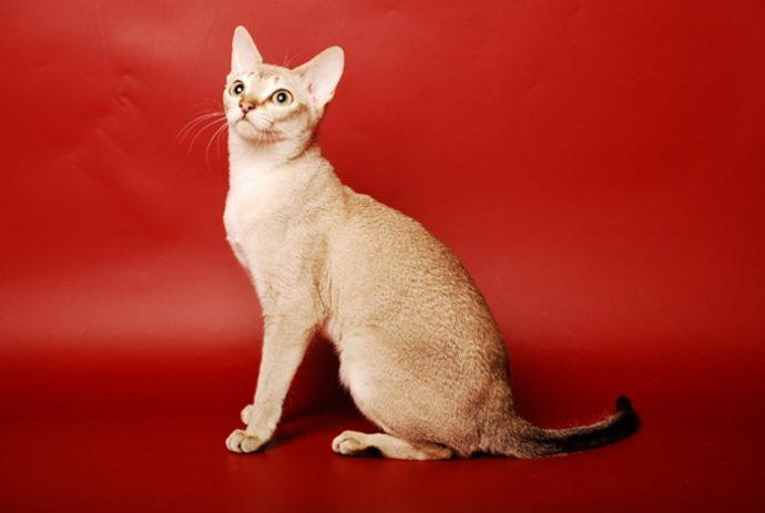 редкие кошки рис 6