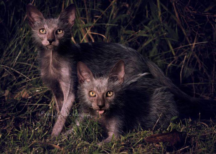 редкие кошки рис 9