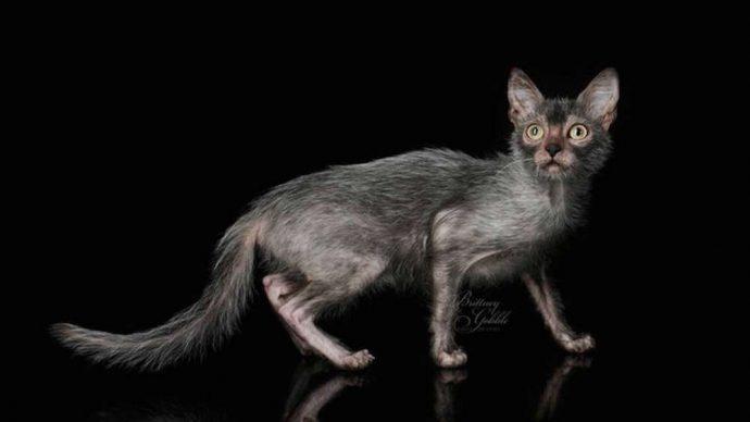 редкие кошки рис 8