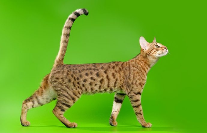 редкие кошки рис 5