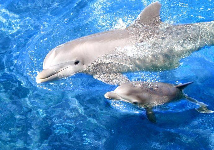 dolphins рис 2