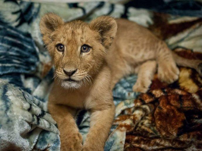 lion рис 2