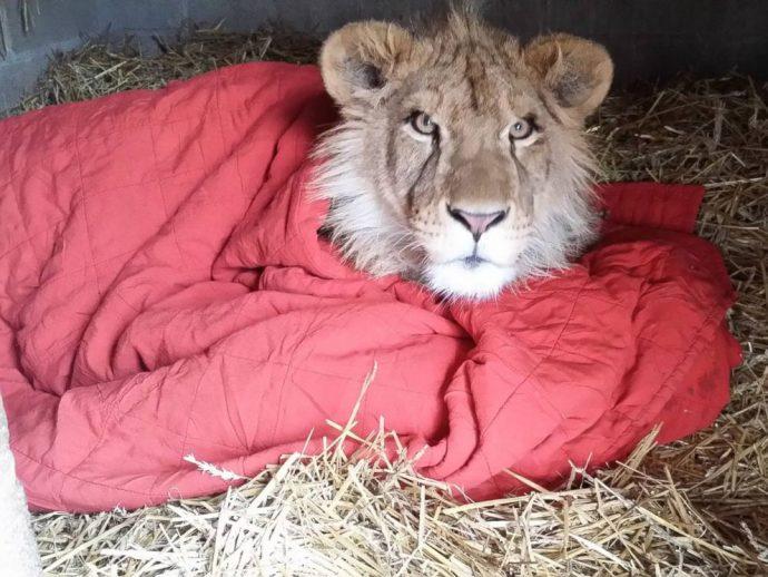 lion рис 3
