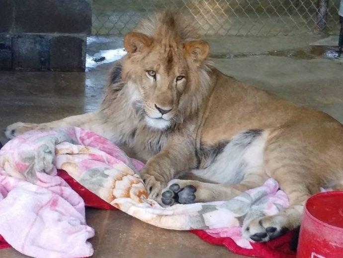 lion рис 4