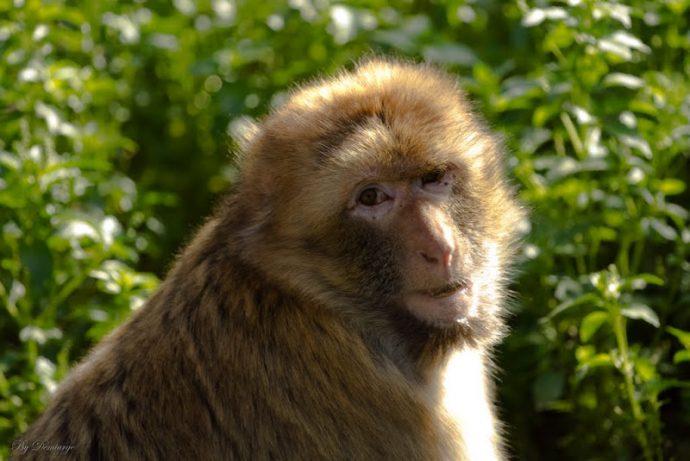 monkey рис 2