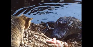 cat and crocodile