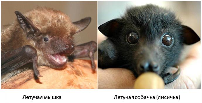 bat - fox