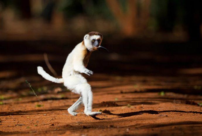 lemuri