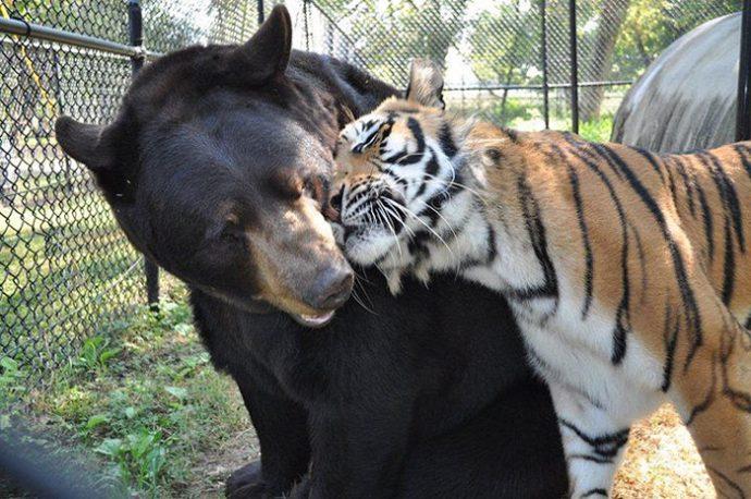 lion-bear-tiger-01