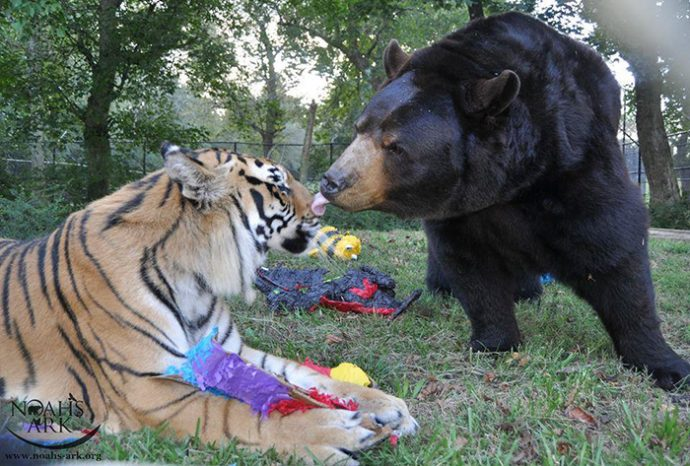 lion-bear-tiger-03