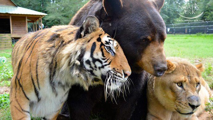 lion-bear-tiger-06