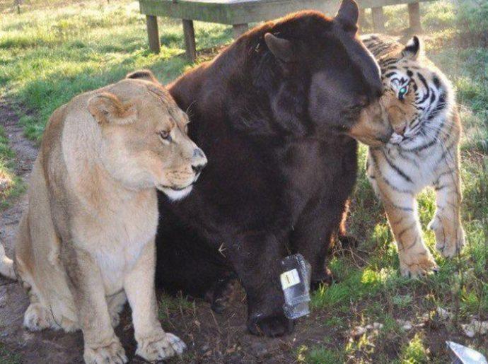 lion-bear-tiger-08